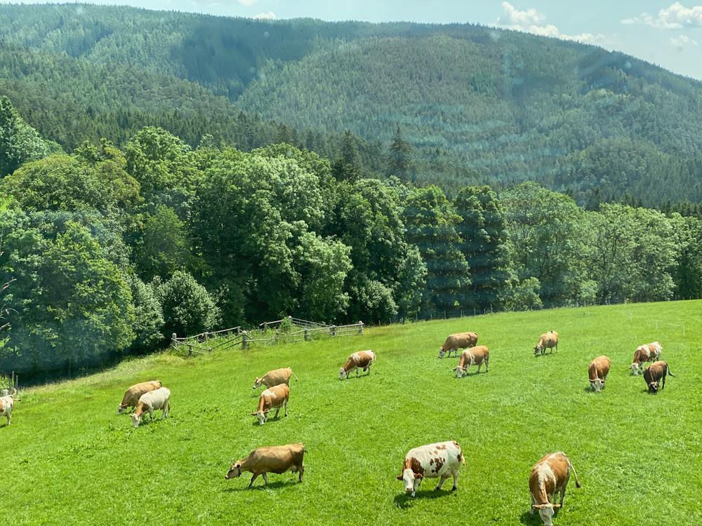 Kühe vom Froihof auf der Wiese