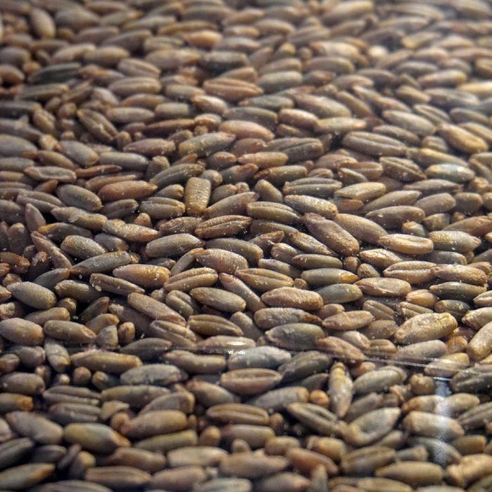Detailaufnahme Bio Roggen ganzes Korn
