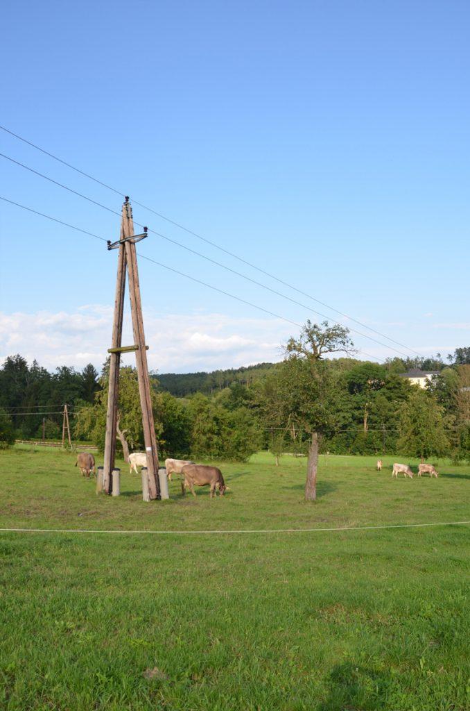 Kühe am Aschacherhof auf der Weide