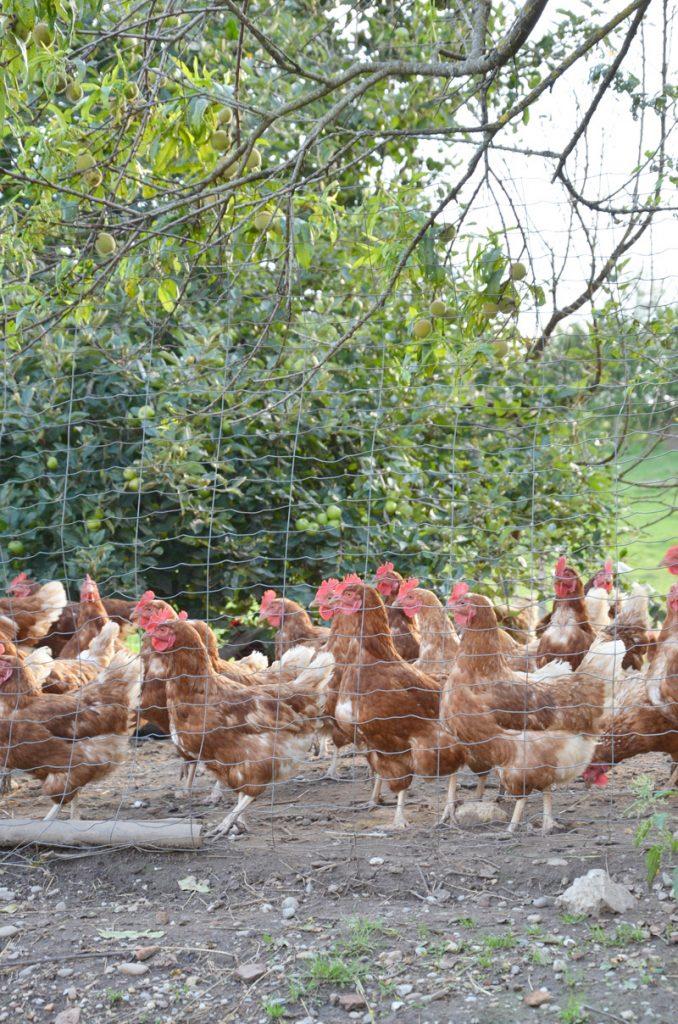 Hühner im Freien am Aschacherhof